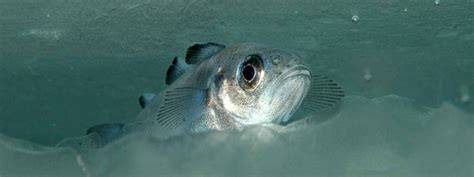 Polar cod early life stages up against a changing Arctic