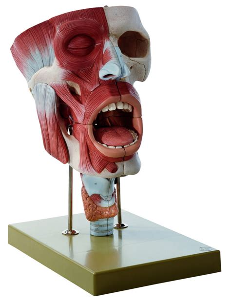 SOMSO Cavities of Nose, Mouth and Throat with Larynx