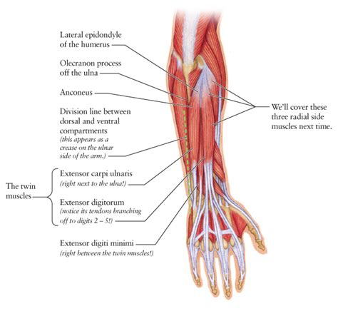 Human Anatomy for the Artist: A Banjo Player's Forearm