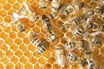 What Is the Life Span of a Honey Bee?   eHow